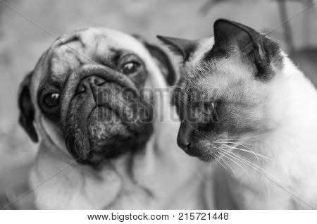 Dog and cat portrait black and white stylish photo friendship of a cat and a dog. Pug and Thai cat