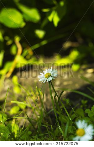 Small white field flower Bellis perennis common daisy lawn daisy or English daisy