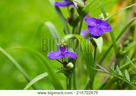 Violet flowers with yellow anthers Tradescantia in summer garden