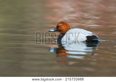Eurasian Male Pochard Duck (aythya Ferina) Swimming