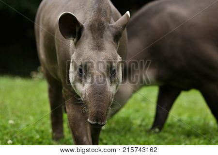 South american tapir in the nature habitat. Beautiful kind of creature in zoo. Rare animal in captivity. Tapirus terrestris.
