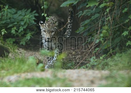 Endangered amur leopard resting on a tree in the nature habitat. Wild animals in captivity. Beautiful feline and carnivore. Panthera pardus orientalis.