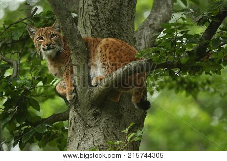 Euroasian lynx in the bavarian national park in eastern germany, european wild cats, animals in european forests, lynx lynx