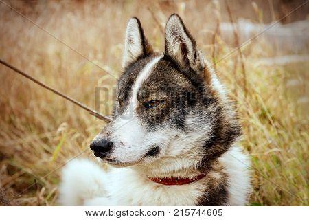 Husk dog. Husky. Dog on the background of autumn grass and sky. Close-up.
