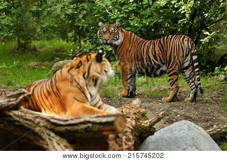 Sumatran tiger in nature looking habitat in zoo. Wild animals in captivity. Critically endangered species of the greatest feline.