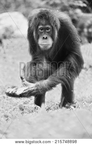 Endangered bornean orangutan in the rocky habitat. Pongo pygmaeus. Wild animal behind the bars. Beautiful and cute creature.