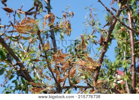 Close up on Cherry Tree defoliate by tent caterpillars