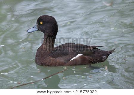 Tufted duck (Aythya fuligula). Wild life animal.