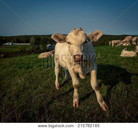 Charolais bull calf grazing in a field in Quebec