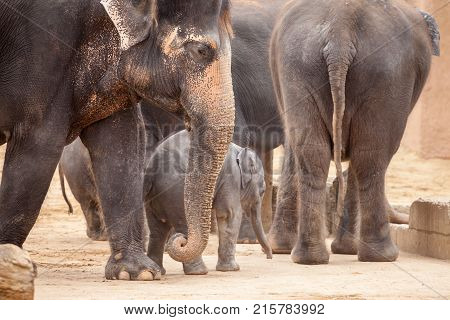 a baby elephant stays in a herd of elephants