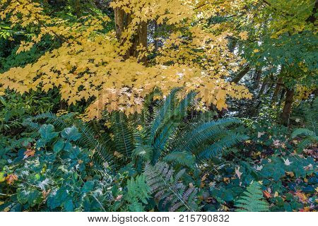 A view of fall leaves and green ferns in the Pacific Northwest.