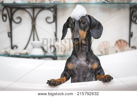 A cute little dog dachshund black and tan taking a bubble bath with his paws up on the rim of the tub