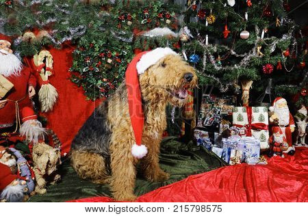 Airedale Terrier wishing a merry Christmas surrounded by christmas-tree and presents