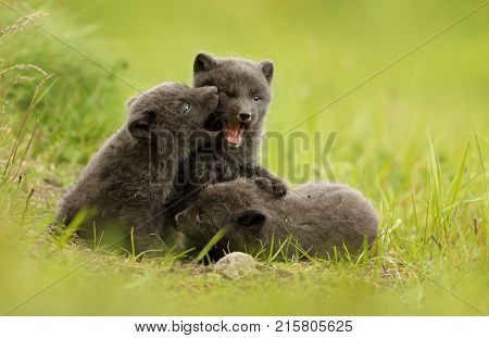 Three cute brown (blue morph) arctic fox cubs play fighting with each other in the meadow during summer in Iceland