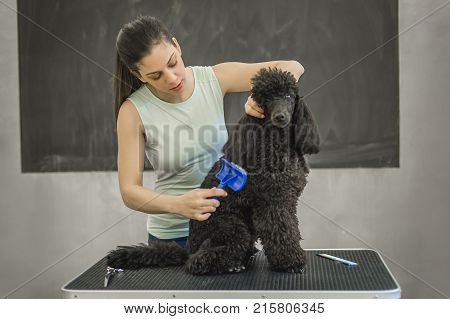 Grooming A Little Dog In A Hair Salon For Dogs