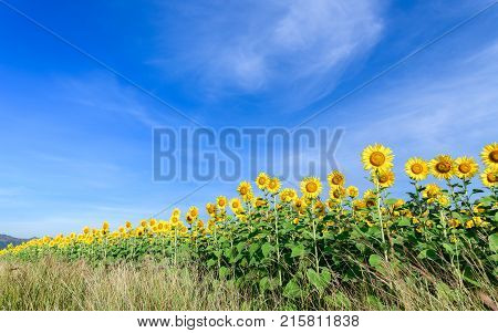 Beautiful Sunflower Fields With Moutain Background On Blue Sky