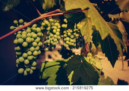 Bunch of green unripened grapes against the background of green leaves. Selective focus. Retro toning