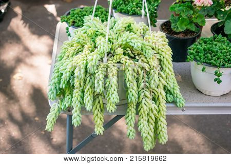 Sedum morganianum (lamb's tail burro's tail horses tail) in white pot hanging. Sedum morganianum is popular and easy-to-grow succulent with trailing stems and fleshy blue-green leaves. Basic houseplant
