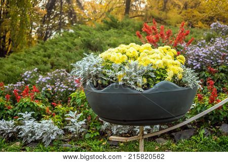Bright yellow varietal chrysanthemums in a big pot with background of a bright flowerbed in park. Floral decor of chrysanthemums for park and garden. Decorative composition of chrysanthemums. Landscape design idea