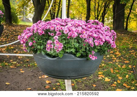 Bright pink varietal chrysanthemums in a big pot in an autumn park. Floral decor of chrysanthemums for park and garden. Decorative composition of chrysanthemums. Landscape design idea