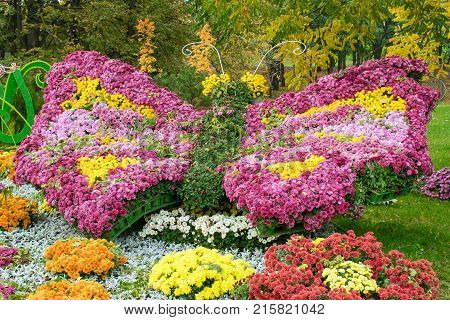 Beautiful flower arrangement in the form of a multi-colored butterfly from pink yellow purple chrysanthemums. Floral décor for park and garden. Decorative composition of chrysanthemums. Landscape design idea