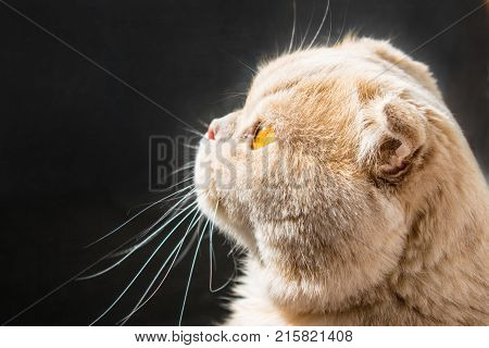 Сat in profile sunlit on a dark background. A beautiful Scottish lop-eared cat with golden eyes. Close up. Waiting for food tracking down prey