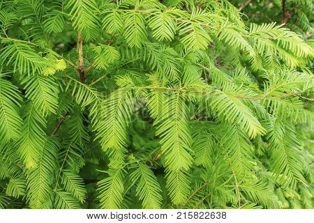 Green branches and leaves of the Gold Rush Dawn Redwood Metasequoia glyptostroboides