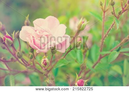 Hybrid tea rose. Delicate pink flower and buds of a fragrant rose. The concept of tenderness and fragility. Selective focus