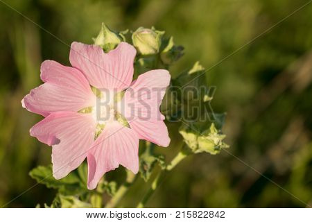 Marsh Mallow (Althaea Officinalis) flower. Medicinal plant. Blossom of marshmallow. Beautiful and delicate pink field flower on a green background.