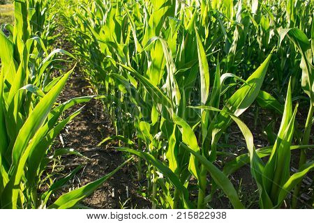 Rows of ripening green corn in cornfield on a sunny day. Ripening of corn in a rural plantation