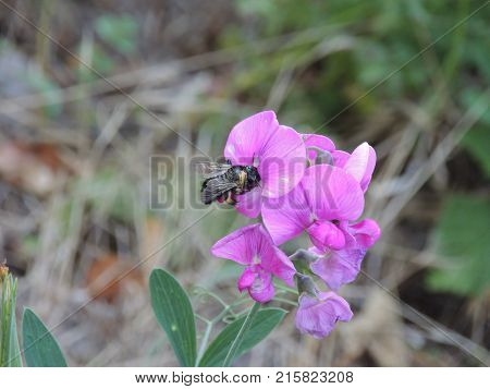 Bee harvesting  his food and spreading pollen on a flower during the day