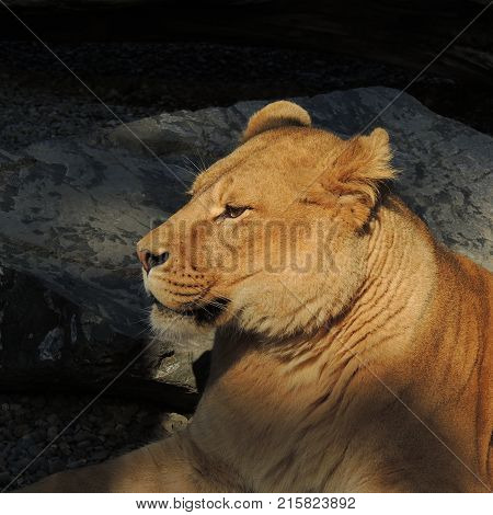 Lioness resting at the Portland Zoo in Oregon usa