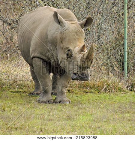 Rhinoceros watching the tourist at Wildlife Safari game park near Winston Oregon usa
