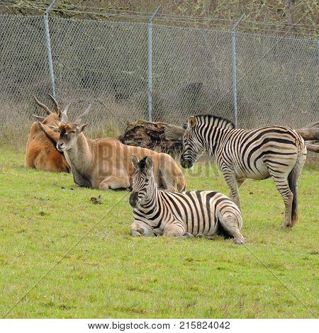 Zebras resting near antelope at Wildlife Safari game park near Winston Oregon usa