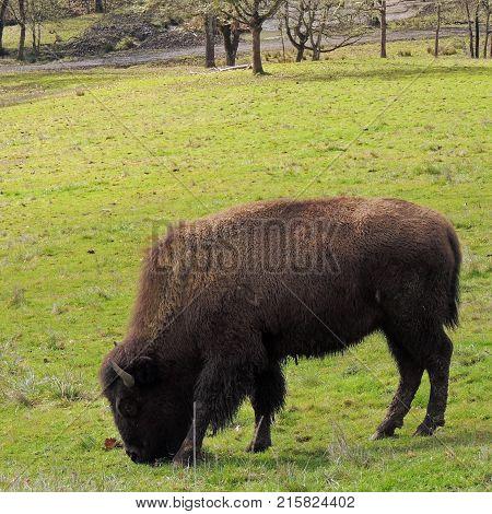 Buffalo grazing in a field at Wildlife Safari near Winston Oregon usa during the day