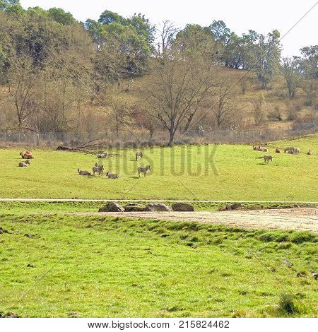 Animals grazing and resting at Wildlife Safari game park near Winston Oregon during the day