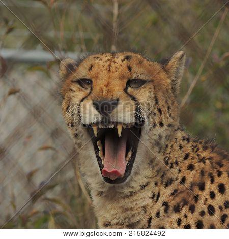 Yawning Cheetah behind chain link fence at Wildlife Safari near Winston Oregon usa
