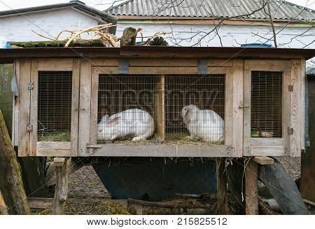 Spring day. In the frame is a wader with two white rabbits. Village. Horizontal frame. Photo taken in Ukraine Kiev. Color image