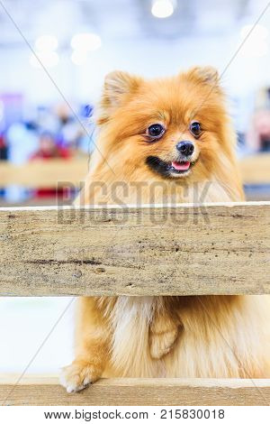Puppy of Pomeranian Spitz dog standing on one paw on wooden board and curious looking away. Cute happy portrait close-up with open mouth and tongue sticking out. Lovely fluffy pet.