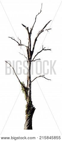Dead tree on white backgroundDry tree isolated on white.
