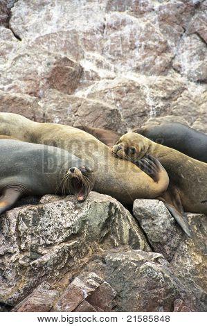 Sleepy Sea-lions
