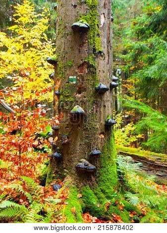 Polypores mushrooms on a tree trunk in colorful autumn primeval forest.