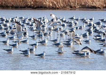 Seagulls Landing in Water to Join the rest of the Flock poster