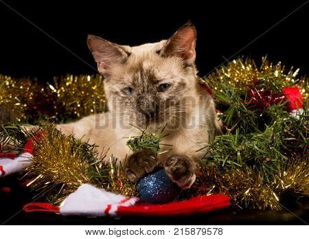 Adorable tortie point Siamese kitten in glittering Christmas tinsel with her paws on a blue bauble, on black background