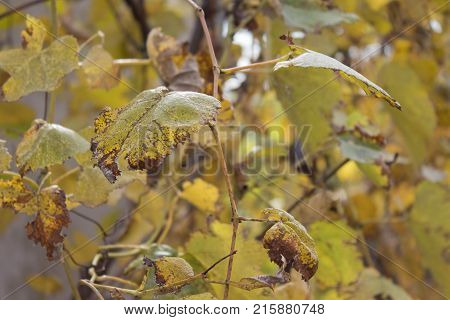 Photo of grape leaves background yellow leaves close up in the vineyard. A closeup of grape leaves turning yellow in the autumn