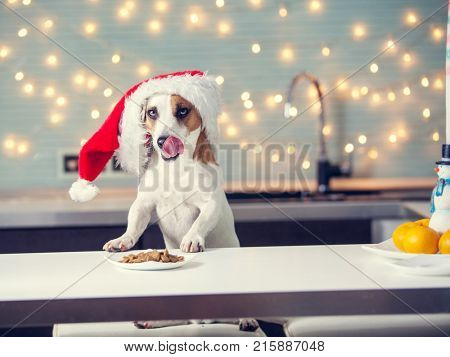 Dog in christmas hat eating food. Happy pet licking