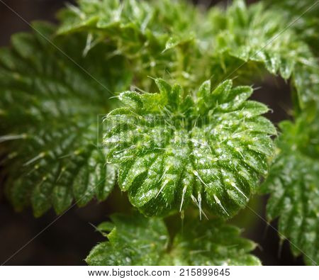 Young Growing Stinging Nettle