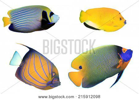 Angelfish isolated on white background. Tropical reef fish. Emperor, Three-spot, Blue-ringed and Yellow-mask Angelfishes