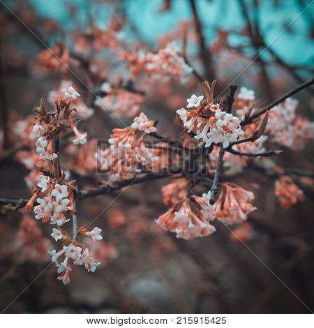 Clusters of pretty pink tubular flowers growing on leafless tree branches in a close up shallow dof view in square format