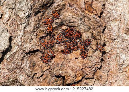 Clumps of firebug on the bark of a tree (Pyrrhocoris apterus)